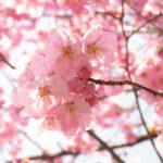 豊橋の桜の名所とお花見スポット
