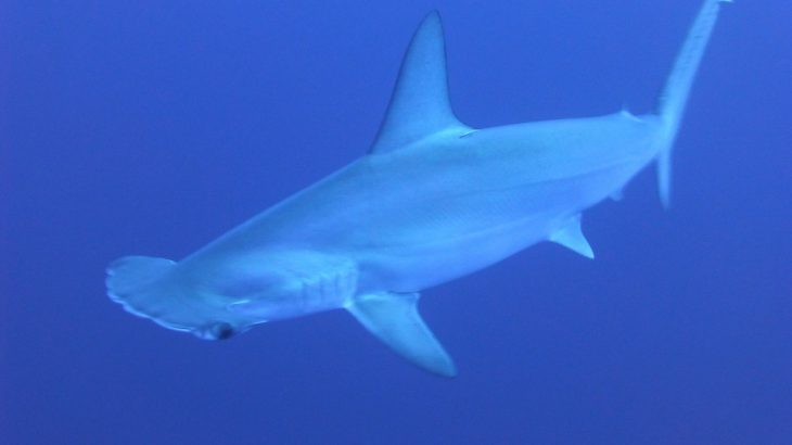 豊橋の海でサメ!?シュモクザメ3匹出現!